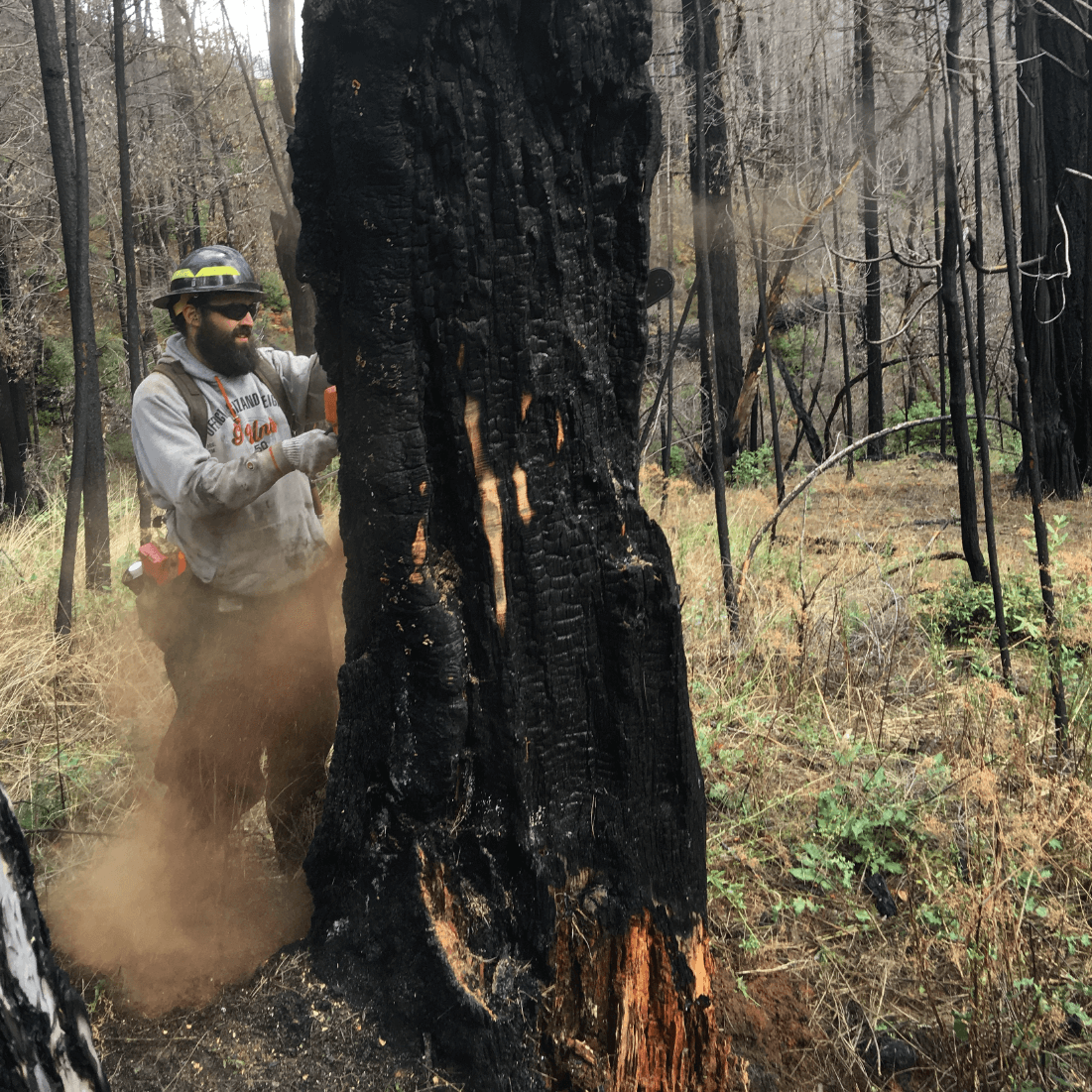 Man felling fire-weakened tree.